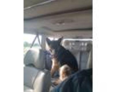 Adopt Tarzan a Black - with Tan, Yellow or Fawn German Shepherd Dog / Mixed dog