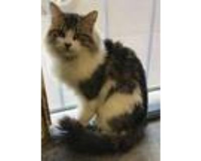 Adopt Captain a White (Mostly) Domestic Longhair / Mixed (long coat) cat in