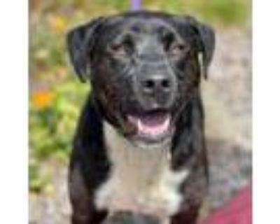Adopt DEWY a Labrador Retriever, Border Collie
