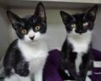 Adopt TRIANGLE and HEXAGON a Domestic Short Hair