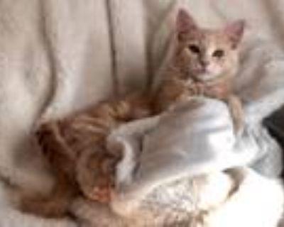 Adopt Lana a Tan or Fawn Tabby Domestic Mediumhair cat in Lorton, VA (32007411)