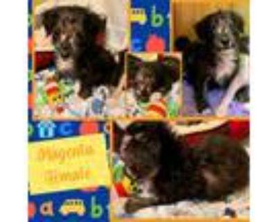 Adopt Magenta a Black Miniature Pinscher / Mixed dog in El Dorado, KS (32044308)