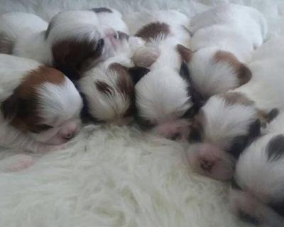 Shihtzu teddy puppies