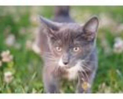 Adopt Odin a Gray or Blue (Mostly) Domestic Shorthair (short coat) cat in