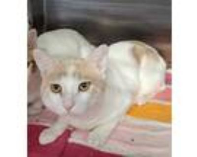 Adopt Harvest a White Domestic Shorthair / Domestic Shorthair / Mixed cat in