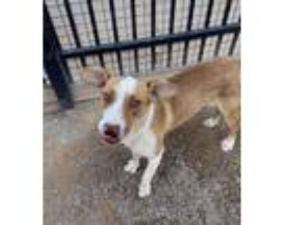 Adopt Gibs a Hound (Unknown Type) / Shepherd (Unknown Type) / Mixed dog in