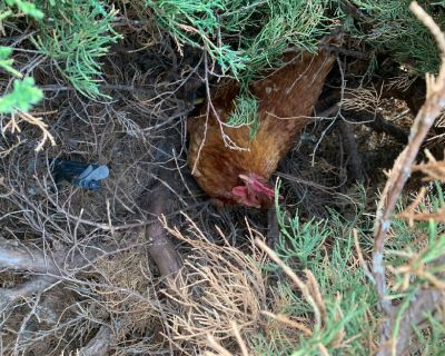 Free egg laying hens. We will be moving and can't take them with us.