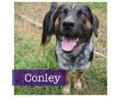 Adopt Conley a Beagle, Hound