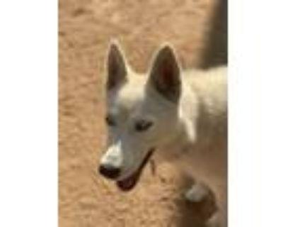 Adopt DAISY a Siberian Husky