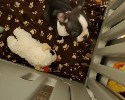 4 months old Boston Terrier puppy