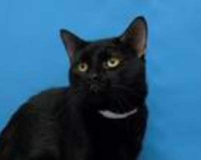 Adopt Mister Handsome a Domestic Short Hair