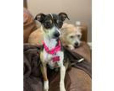 Everlee, Rat Terrier For Adoption In Boston, Massachusetts