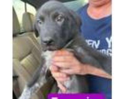Adopt Turquoise a Labrador Retriever, Shar-Pei
