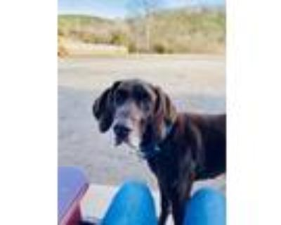 Adopt Max a German Shorthaired Pointer