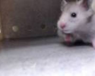Adopt a Black Hamster / Mixed small animal in Downey, CA (31965155)