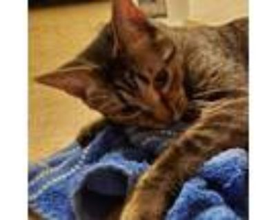 Adopt Karl a Brown or Chocolate Domestic Shorthair / Mixed cat in Tecumseh