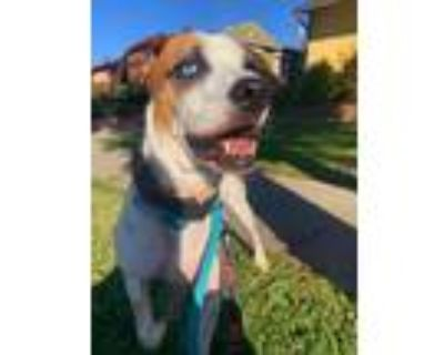 Adopt Zuma a White - with Brown or Chocolate Pointer / Cattle Dog / Mixed dog in