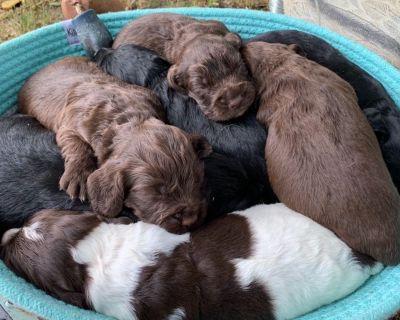 English Cocker Spaniel Puppies (Field Bred)