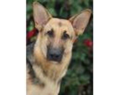 Adopt Brigitte von Bergen a Black - with Tan, Yellow or Fawn German Shepherd Dog