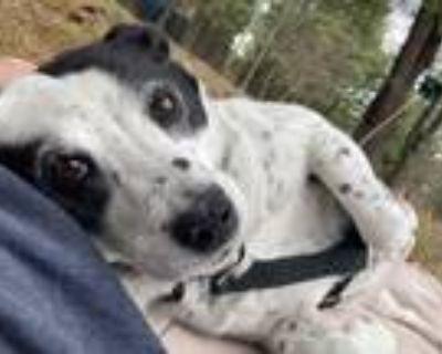 Adopt Bailey a White - with Black Australian Shepherd / English Pointer / Mixed