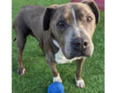 Adopt DONUT a Gray/Silver/Salt & Pepper - with White American Pit Bull Terrier /