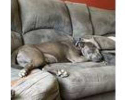 Odin, American Staffordshire Terrier For Adoption In Amherst, New York